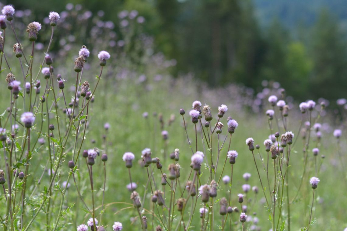 Wildblumen Slowakei